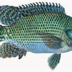 Asal Ikan Mujair dari Laut Afrika?